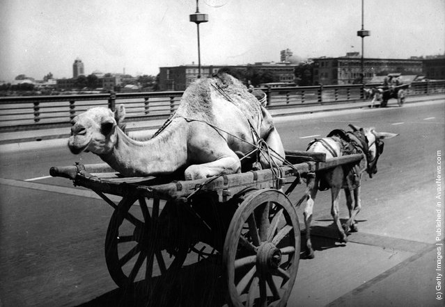 1944: An a*s pulls a cart carrying a camel along a road in Cairo
