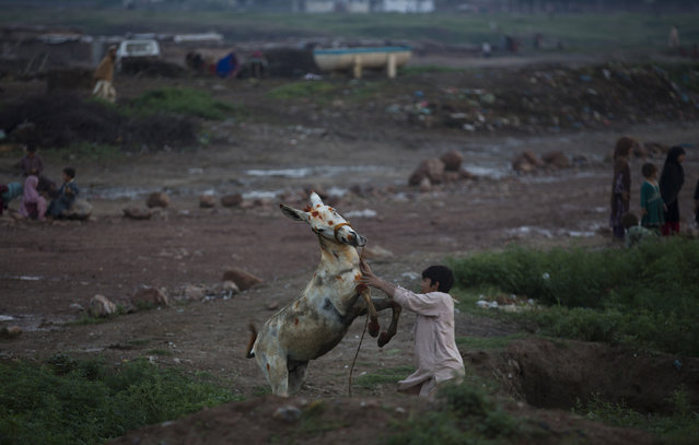 A Pakistani boy who is displaced with his family from a tribal area of Bajur, where security forces are fighting against militants, plays with his donkey in Islamabad's slums, Monday, April 27, 2015 in Pakistan. (Photo by B. K. Bangash/AP Photo)