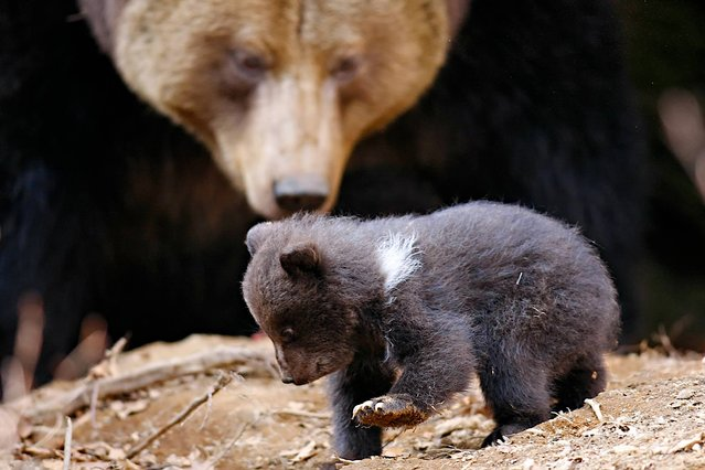 In this picture taken Sunday, March 30, 2014, eleven year old bear mother Luna, rear watches one of her cubs in front of their cave in the Bavarian Forest National Park near Grafenau, southern Germany. The gender of the three cubs could not be determined yet because the mother doesn't let anyone near her offspring. (Photo by Frank Bietau/AP Photo/DPA)