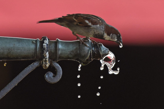 A sparrow drinks from a fountain head in Freiburg, Germany, 03 July 2015. (Photo by Patrick Seeger/EPA)
