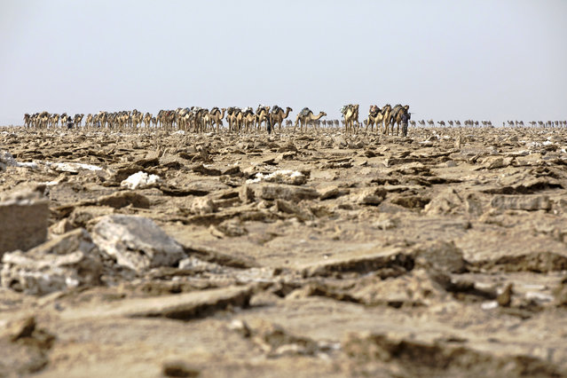 A camel caravan enters the salt mining area of the Danakil Depression on 28 March 2017, in Afar. (Photo by Zacharias Abubeker/AFP Photo)