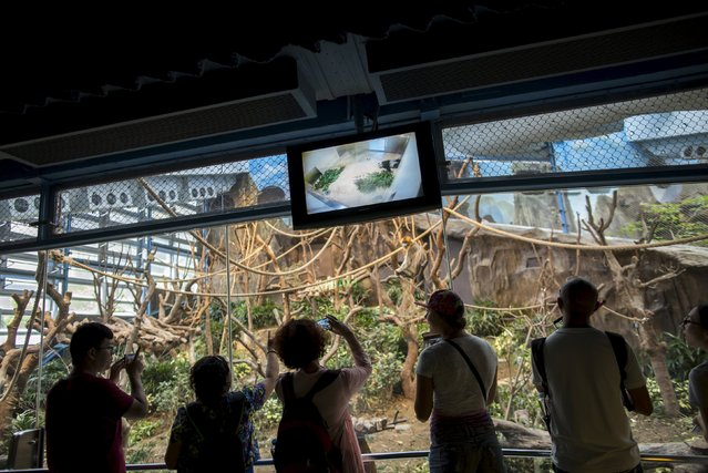36-year-old giant panda Jia Jia, is seen on a live screen (top) as she sleeps in her enclosure at the Hong Kong Ocean Park, China June 30, 2015. (Photo by Tyrone Siu/Reuters)