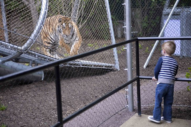 Owen Berk, 3, interacts with an Amur tiger inside the new Big Cat Crossing at the Philadelphia Zoo in Philadelphia, Pennsylvania May 7, 2014. The new animal exploration trail experience called Zoo360 of see-through mesh trails enables animals to roam around and above Zoo grounds. (Photo by Charles Mostoller/Reuters)