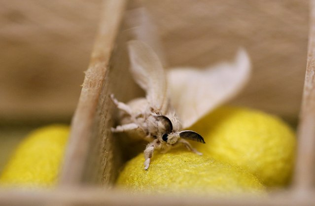 A silkmoth sits in a box of silkworm cocoons like the one from which it has recently emerged,  at the CRA agricultural research unit in Padua, Italy, June 4, 2015. (Photo by Alessandro Bianchi/Reuters)