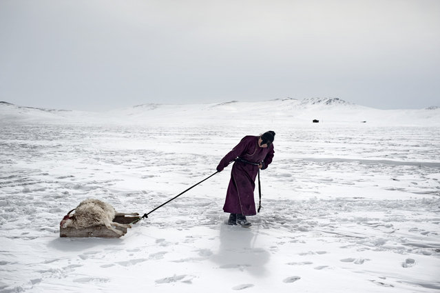 Asia, Mongolia, March 18, 2011. In the photo, 29-year-old Erdene Tuya hauls a sheep lost for the dzud to a small burial ground close to their yurt (gher). In Mongolia's Arkhangai province, the Tsamba family lives on the edge, struggling through harsh winters alongside their herd of sheep. (Photo by Alessandro Grassani)