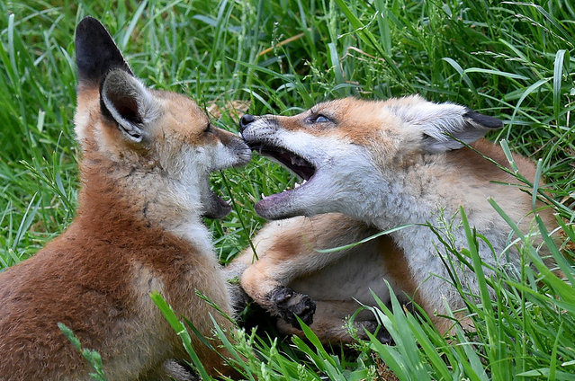 Fox cubs Chili(L)and Kuemmel (Cumin) play on a meadow at the Wisentgehege zoo near Springe, Germany, 24 May 2016. The fox cubs are doing quite well after having been taken in by the zoo and being hand-reared. (Photo by Holger Hollemann/DPA via ZUMA Press)