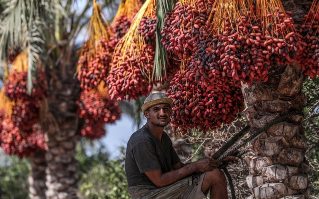 A Palestinian picks red dates from palm trees, in Deir al Balah town, the central Gaza Strip, 06 October 2019. The Gaza Strip annual season of collecting red dates, one of the most important products of the agricultural sector, began at the end of September and is expected to continue till December. According to local figures, there are 250,000 palm trees in the Gaza Strip, only 150,000 are bearing fruits, with annual production of 12,000 to 15,000 tons of red dates. Farmers, however, are facing regular issues related to storing and exporting their production in light of border closure and the Israeli restrictions imposed on exported quantities from the enclave. (Photo by Mohammed Saber/EPA/EFE)