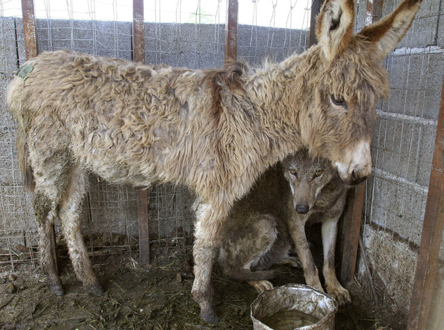 A wolf and a donkey share a cage in the northwestern town of Patok in Albania, about 40 km (25 miles) from capital the Tirana, May 9, 2007. The donkey was brought into the enclosure to be fed to the wolf. The animals have since become attached to each other, cohabitating in the cage for the last 10 days. (Photo by Arben Celi/Reuters)