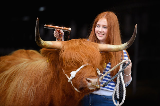 Seventeen-year-old Laura Hunter, and Highland Cow Molly prepare for the Royal Highland show at Ingliston showground on June 22, 2016 in Edinburgh, Scotland. The 176th Royal Highland Show, one of the UK's premier agricultural shows, will run over four days from 23-26 June. Scotland's annual farming and rural industry showcase features thousands of exhibitors displaying the finest livestock and the latest specialist agricultural machinery. (Photo by Jeff J. Mitchell/Getty Images)