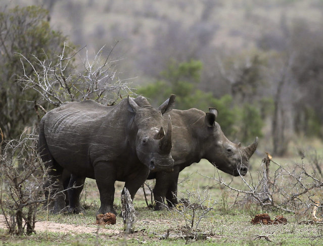 In this October 1, 2016, file photo, rhinos graze in the bush on the edge of Kruger National Park in South Africa. South Africa's government said Monday July 24, 2017, is moving ahead with draft regulations for a domestic trade in rhino horn, despite critics' concerns that a legal market will spur rhino poaching. (Photo by Denis Farrell/AP Photo)