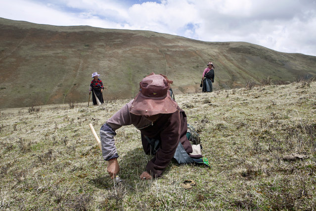 Tibetan women in search of the Caterpillar Fungus on the mountains in the surroundings of Xiaosumang Township on May 31, 2016. (Photo by Giulia Marchi/The Washington Post)