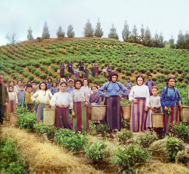 Photos by Sergey Prokudin-Gorsky. Group of workers harvesting tea. Greek women. Russia, Kutaisi province, Batumi District, Chakva, 1912