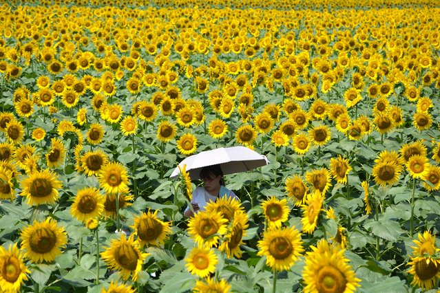 A woman walks through a maze of sunflowers growing in a field during a three-day sunflower festival in the town of Nogi, Tochigi prefecture, some 70 kms north of Tokyo on July 27, 2014. A total of some 200,000 sunflowers welcomed guests for the summer festival, an annual draw for the small town. (Photo by Kazuhiro Nogi/AFP Photo)
