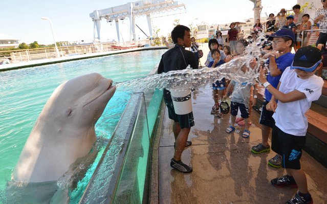 A beluga whale sprays water onto visitors at a summer attraction at the Hakkeijima Sea Paradise aquarium in Yokohama, suburban Tokyo on August 6, 2014. Tokyo's temperature climbed over 35 degree Celsius on August 6 following a heatwave in the area. (Photo by Yoshikazu Tsuno/AFP Photo)