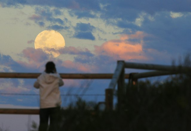 Sydney resident Virginia Maddock watches the supermoon rise off the Sydney beachside suburb of Wanda, August 10, 2014. The astronomical event occurs when the moon is closest to the Earth in its orbit, making it appear much larger and brighter than usual. (Photo by Jason Reed/Reuters)