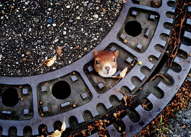 A squirrel is trapped in a manhole cover in Isenhagen, Germany on August 5, 2012. After they  were called by neighbors, police managed to free the animal by using olive oil.  (Photo by Police Hanover)