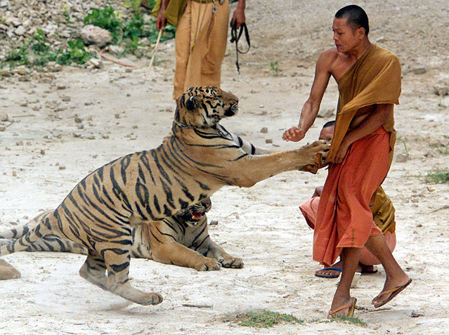 A Thai Buddhist Monk fends off a playful attack from an Asian Tiger at the Wat Pa Luangtabua temple in Sai Yok, western Thailand, May 22, 2001. (Photo by Jason Reed/Reuters)