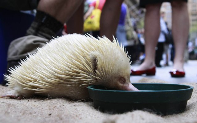 An echidna eats during a National Threatened Species Day event, held in central Sydney on September 7, 2012. (Photo by Daniel Munoz/Reuters)