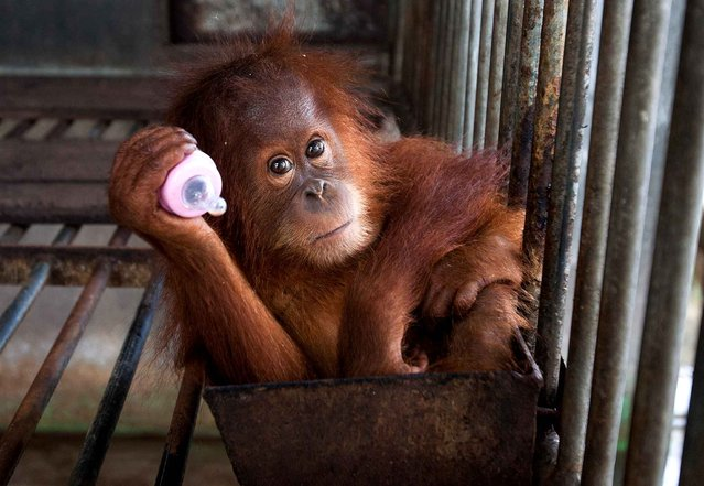 This picture shows a two-year old orangutan seized from a residents house at the provincial Nature Conservation and Agency (BKSDSA) office in Banda Aceh on September 16, 2014. The critically-endangered primates population are dwindling rapidly due to poaching and rapid destruction of their forest habitat that is being converted into palm oil plantations. (Photo by Chaideer Mahyuddin/AFP Photo)