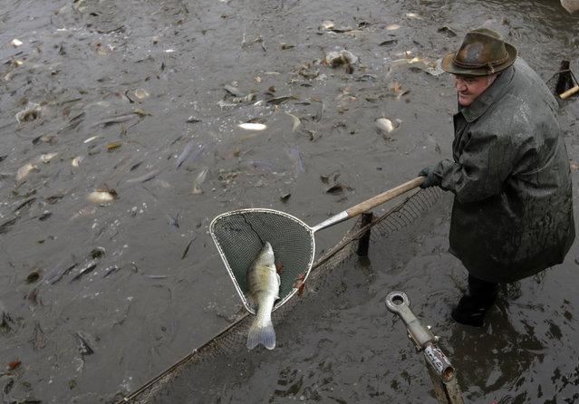 A fisherman pulls a pike-perch out of the Horusicky pond near the town of Veseli nad Luznici, Czech Republic during a traditional fish haul, Tuesday, October 24, 2017. (Photo by Petr David Josek/AP Photo)