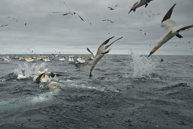 Gannets dive into the water in search of food, 2014, in Shetland, Scotland. (Photo by Richard Shucksmith/Barcroft media)