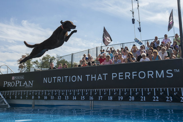 Cowboy, a 5-year-old Chesapeake Bay Retriever trained by Jason Kidd of PawPaw, Mich., competes in the fetch it! competition at the Purina Pro Plan Incredible Dog Challenge on Saturday, September 27, 2014 at Purina Farms in Gray Summit, Mo. (Photo by Whitney Curtis/Invision for Purina Pro Plan/AP Images)