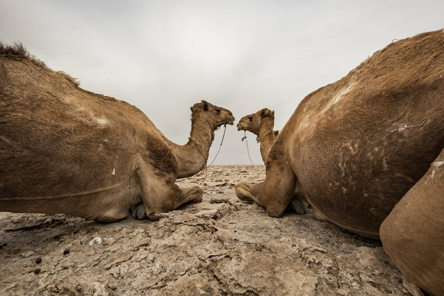 Camels taking a break. (Photo by Joel Santos/Barcroft Images)