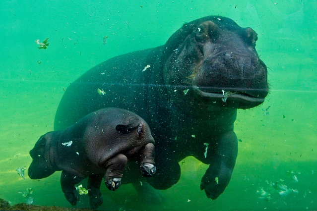A young female hippo born on June 7 named Gloria swims with its mother inside its enclosure on June 23, 2020 in the Zooparc of Beauval in Saint-Aignan, Central France. (Photo by Guillaume Souvant/AFP Photo)