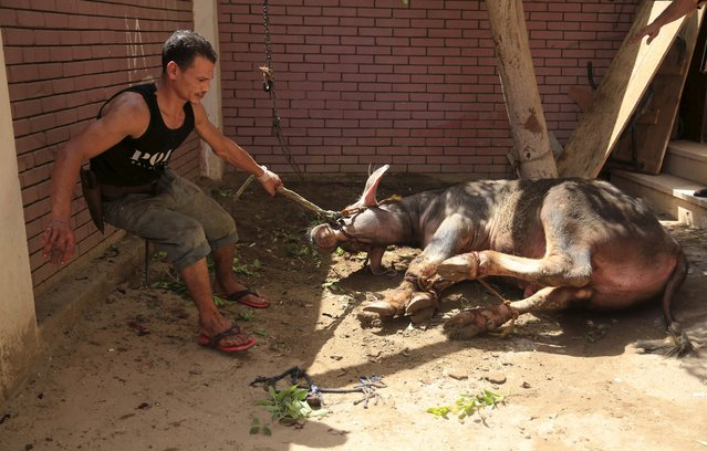 A butcher uses a rope to tie a calf before slaughtering it on the first day of Eid al-Adha festival in Toukh, El-Kalubia governorate, northeast of Cairo, Egypt, September 24, 2015. (Photo by Amr Abdallah Dalsh/Reuters)
