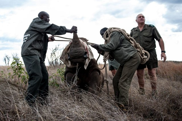 Patrick Themby (C) andBen Boloyi (L) readies the guide rope as members of the Kruger national Park Veterinary Wildlife Services in South Africa ensure the young white rhinoceros is properly handled during a capture on October 17, 2014. (Photo by Stefan Heunis/AFP Photo)