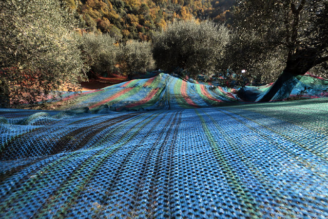Multi-colored nets used to harvest olives are spread out under olive trees near the village of Castagniers, north of Nice, December 5, 2013. (Photo by Eric Gaillard/Reuters)