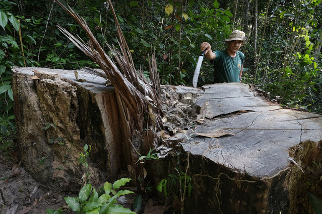 Antonio de Oliveira, 48, a federal police officer on assignment with FUNAI reveals a hardwood tree cut and stolen by loggers in Araribóia Indigenous Reserve, Maranhão, Brazil on August 8, 2015. Oliveira has been working with the Guardians of the Forest to protect their reserve. Loggers have been stealing hardwood trees from indigenous lands in Brazil. The Guardians of the Forest are an armed militia formed by the Guajajara tribe to protect their land. (Photo by Bonnie Jo Mount/The Washington Post)