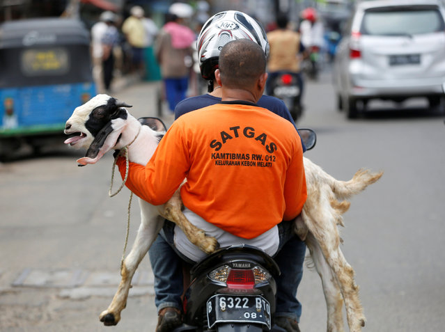 Men deliver a goat to a customer for the upcoming Muslim Eid Al-Adha holiday in Jakarta, Indonesia September 11, 2016. (Photo by Darren Whiteside/Reuters)