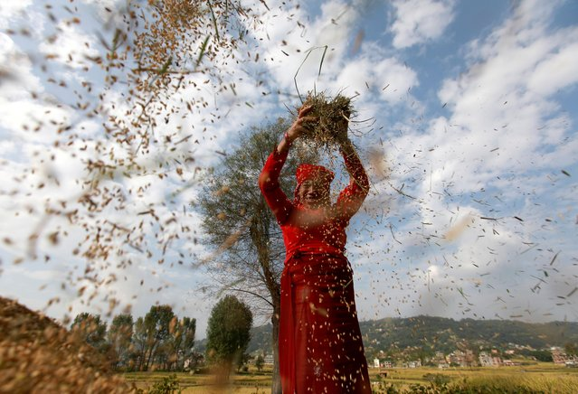 A farmer harvests rice at a field on World Food Day in Bhaktapur, Nepal on October 16, 2020. (Photo by Navesh Chitrakar/Reuters)