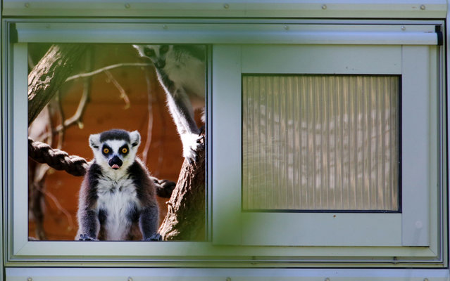 Lemur observes the new open area destined to the species in the Zoo of Rostock in northeastern Germany, on May 15, 2013. The area was inaugurated on Wednesday. (Photo by Bernd Wustneck/DPA/AFP Photo)