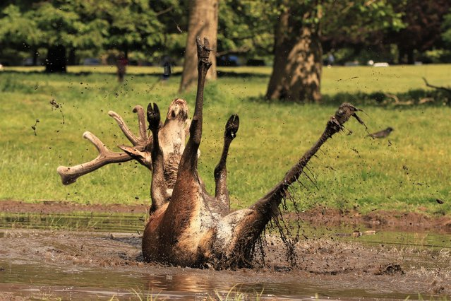 """A red deer stag takes a mud bath in Wollaton Park near Nottingham, England on May 23, 2020. Gareth Williams, who took the photograph, said it was a """"once in a lifetime shot"""". (Photo by Gareth Williams/Kennedy News)"""