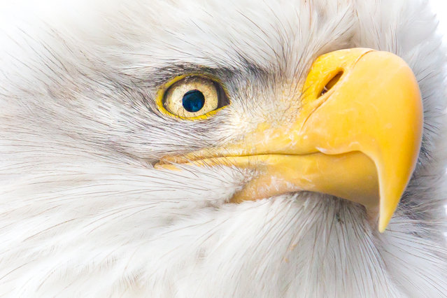 """Eye of the Eagle"". Bald Eagles, found only on the North American continent, can fly up to 30 mph and dive for their prey at speeds of up to 100 mph. An eagle's eye is only slightly smaller than a human's, but its sharpness is at least four times that of a person with perfect vision. With their keen eyesight, eagles can spot fish at distances of up to one mile. Along the Chilkat River, a warm water reservoir creates an opening in the ice that provides a fresh supply of late salmon and other fish during winter months. Location: Haines, Alaska. (Photo and caption by John Chaney/National Geographic Traveler Photo Contest)"