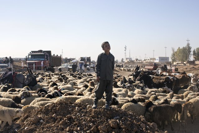 A boy displaced by fighting stands close to his flock of sheep in the village of Bazwaya, some 8 kilometers from the center of Mosul, Iraq, Thursday, November 3, 2016. After the Islamic State group was pushed out of the eastern edge of Mosul this week, hundreds of civilians are now trapped on the front lines as Iraqi forces continue the operation to retake the militant held city. (Photo by Marko Drobnjakovic/AP Photo)