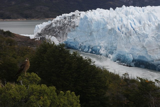 A chimango, a bird of prey, is seen with the Perito Moreno Glacier at the back, at Los Glaciares National Park, near El Calafate in the Argentine province of Santa Cruz, on March 10, 2018. An arch of ice formed at the tip of the Perito Moreno, between the glacier and the shore of Argentino lake, started collapsing into the water on Saturday, a natural display that happens just once every several years. Such arches form roughly every two to four years, when the glacier forms a dam of ice that cuts off the flow of water around it into the lake -- until the water breaks through, opening up a steadily wider tunnel that eventually becomes a narrow arch... and then collapses. (Photo by Walter Diaz/AFP Photo)
