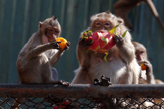 Monkeys eat fruits during the Monkey Buffet Festival, near the Phra Prang Sam Yot temple in Lopburi province, north of Bangkok, Thailand November 27, 2016. (Photo by Chaiwat Subprasom/Reuters)