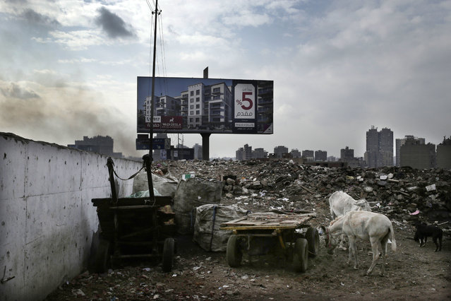 Donkeys eat near an advertisement for a residential housing compound in the Ezbet Khairallah neighborhood of Cairo, Egypt, Tuesday, November 21, 2017. (Photo by Nariman El-Mofty/AP Photo)
