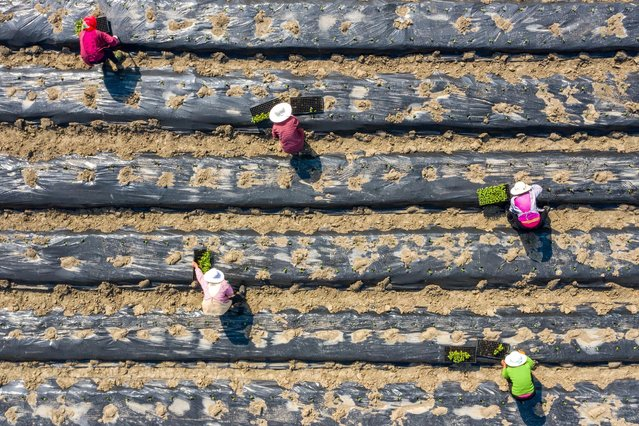 This aerial photo taken on April 19, 2021 shows farmers planting okra at a field in Nantong, in China's eastern Jiangsu province. (Photo by AFP Photo/China Stringer Network)