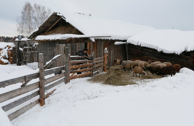 Mikhail Baburin, 66, feeds sheeps at a court yard of his house in the remote Siberian village of Mikhailovka, Krasnoyarsk region, Russia, December 5, 2016. (Photo by Ilya Naymushin/Reuters)