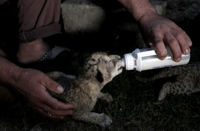 A Palestinian worker feeds an African lion cub, Fajer, foreground, as his sister, Sejeel, right, crawls around at Besan Zoo in Beit Lahiya northern Gaza Strip, Tuesday, Nov. 19, 2013. (Photo by Hatem Moussa/AP Photo)