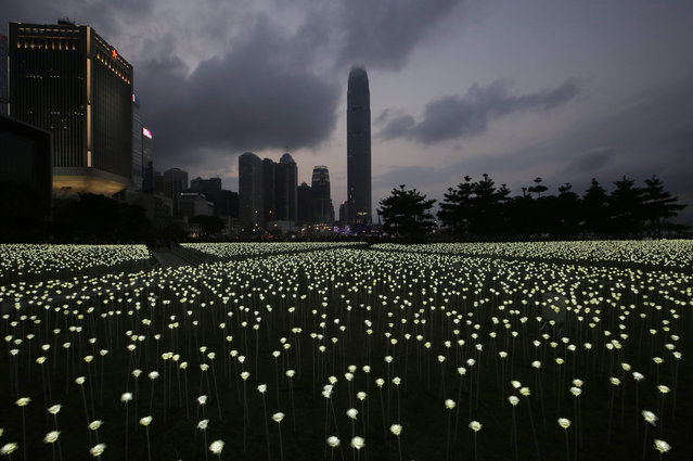 """LED light roses are lit up at the """"Light Rose Garden"""", against the backdrop of  Central, the business district of Hong Kong, Saturday, February 13, 2016. (Photo by Kin Cheung/AP Photo)"""