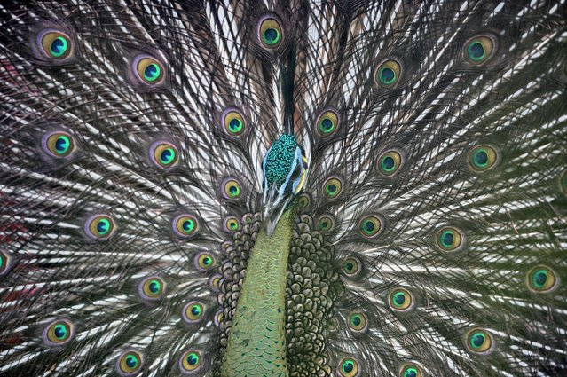 A peacock is seen inside its enclosure at Jurong Bird Park in Singapore on January 11, 2017. (Photo by Roslan Rahman/AFP Photo)
