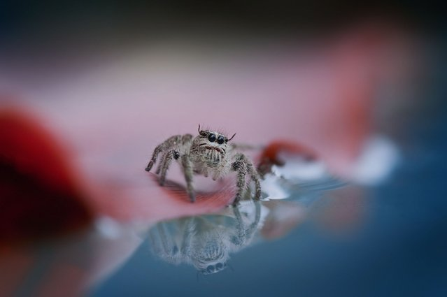 This spider gazes at their own reflections in a pool of water. (Photo by Nordin Seruyan/Solent News & Photo Agency)