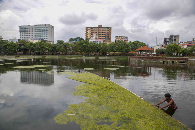 A Nepalese worker cleans algae at the Kamal Pokhari pond in Kathmandu, Nepal, Tuesday, July 27, 2021. Kamal Pokhari pond is one of the oldest and historic ponds which is undergoing restoration. (Photo by Niranjan Shrestha/AP Photo)