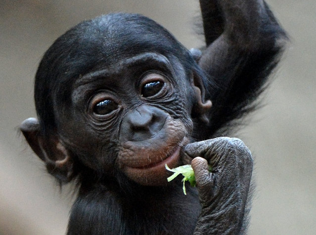 Bonobo baby Kasai climbs in the Zoo in Leipzig, Germany, on November 27, 2013. (Photo by Hendrik Schmidt/AFP Photo/DPA)