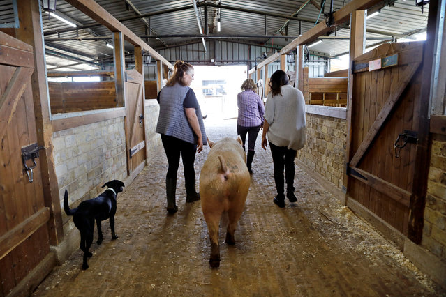 "A pig named Omri walks with staff members and volunteers out of a barn at ""Freedom Farm"" which serves as a refuge for mostly disabled animals in Moshav Olesh, Israel on March 7, 2019. (Photo by Nir Elias/Reuters)"